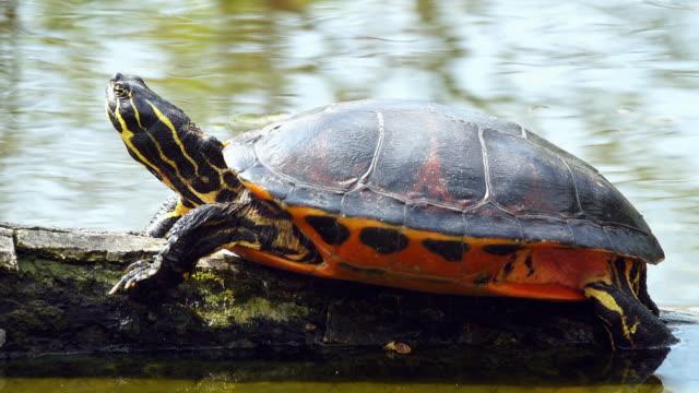 wasserschildkröte, sonnenbaden in der sonne - süßwasser stock-videos und b-roll-filmmaterial
