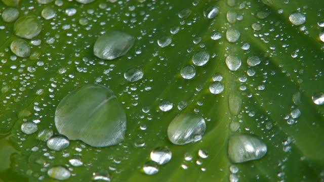 HD Waterdrops flowing down green leaf, Macro, closeup video