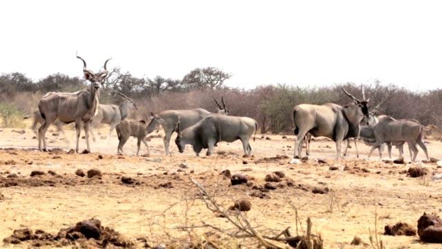 Waterhole in Etosha with many animals video