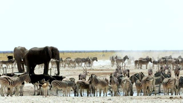 vidéos et rushes de waterhole dans d'etosha avec de nombreux animaux - plan d'eau