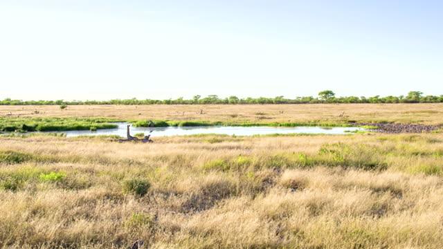 ws wasserloch in der afrikanischen savanne - wasserloch stock-videos und b-roll-filmmaterial