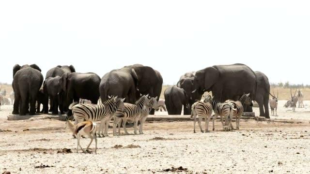 waterhole with Elephants, zebras, springbok and orix. Africa Safari wildlife. video