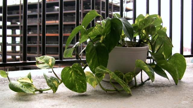 vídeos de stock e filmes b-roll de regar uma ivy plantas - ivy building