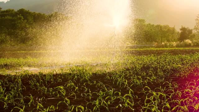 vidéos et rushes de champ de maïs d'arrosage agricole jardin par springer de l'eau. - équipement agricole
