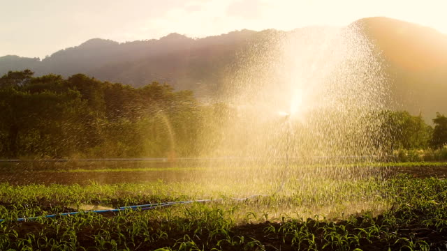watering corn field in agricultural garden by water springer. video