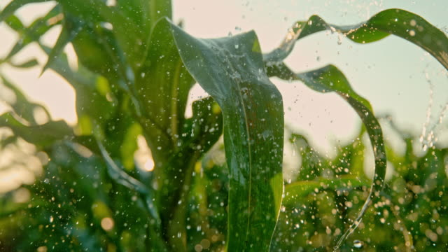 SUPER SLO MO Watering corn plants on the field Super slow motion shot of water drops falling on green leaves of a corn plant on the field at sunset. crop plant stock videos & royalty-free footage