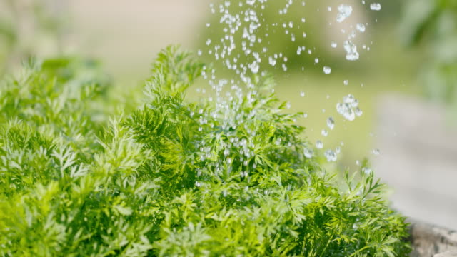 SLO MO Watering fresh parsley Super slow motion shot of a person in the background watering fresh parsley in a garden. parsley stock videos & royalty-free footage
