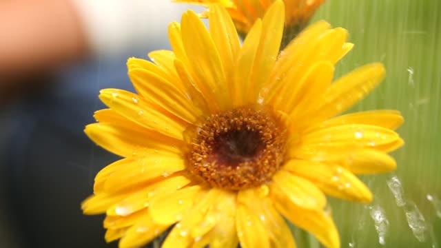 Watering Gerbera Flower Macro video