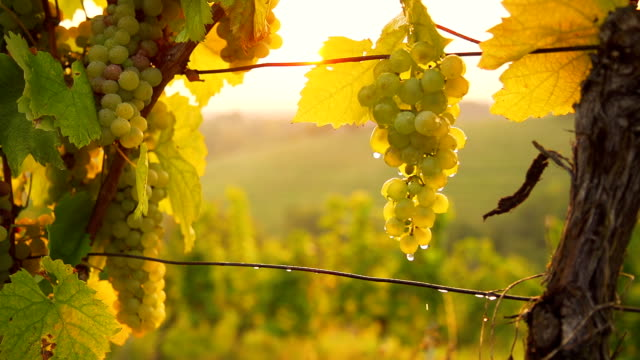 HD SUPER SLOW-MO: Watering Grapes In A Vineyard video