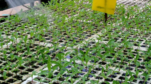 watering green baby salad plant video