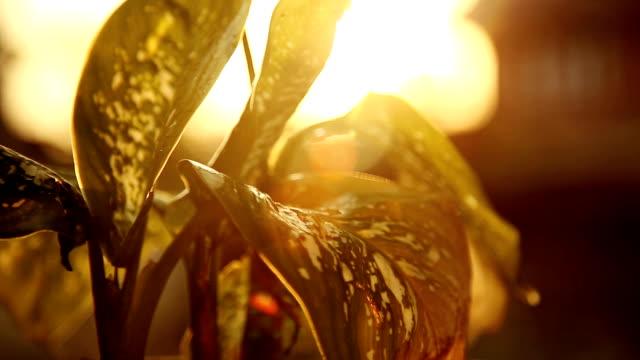Arrosage plante Dieffenbachia vert - Vidéo