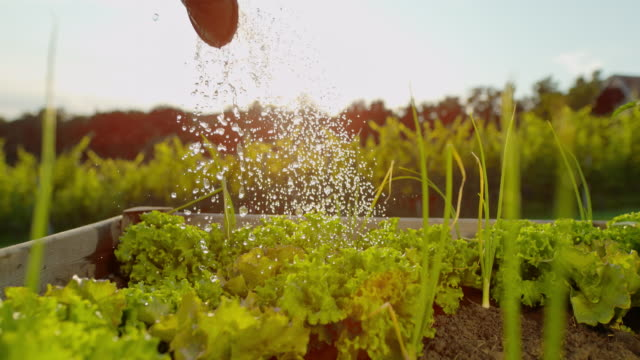 SLO MO Watering heads of lettuce in a garden Super slow motion shot of an unrecognizable person watering lettuce heads in a garden. horticulture stock videos & royalty-free footage