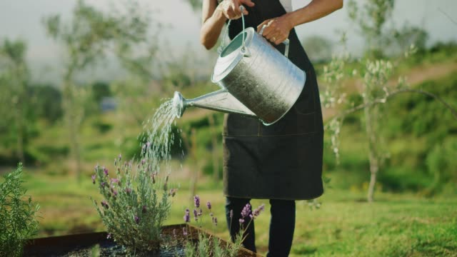 Watering her garden Happy middle aged woman watering her lavender plant in cute herb garden, retirement activities watering stock videos & royalty-free footage