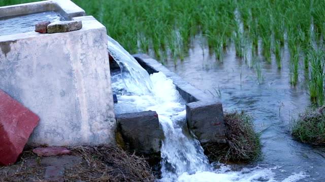 watering in rice paddy - haryana video stock e b–roll