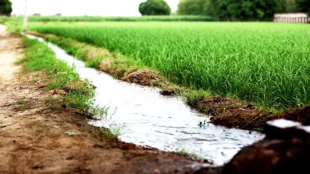 Watering in rice paddy Watering in rice paddy field through using tube well (Irrigation Equipment). haryana stock videos & royalty-free footage