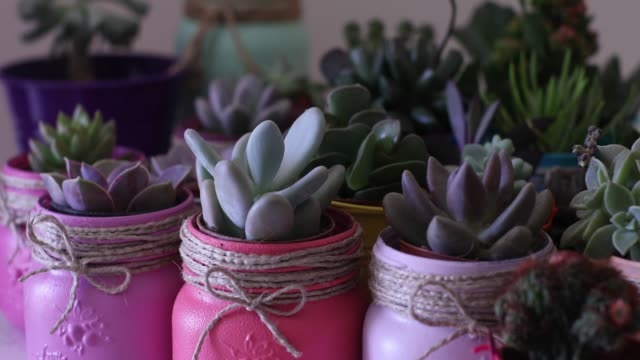 watering lots of different colorful succulents in colorful pots, pink, green, spring, indoors, hobby, DIY, hand, gardening, planting video