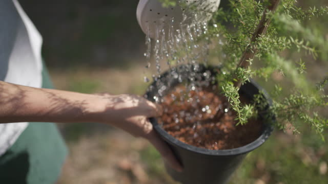 4K Watering Manuka flower pot at outdoor with sunlight