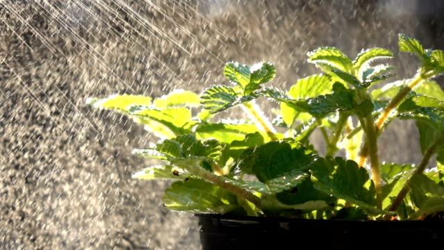 Watering Mint Plant in Slow Motion video