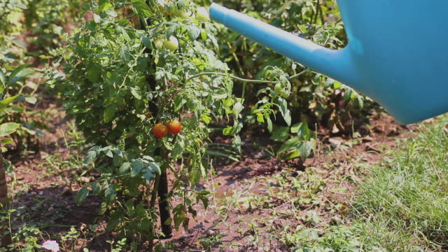 Watering organic cherry tomato in the garden with fresh water in blue pot
