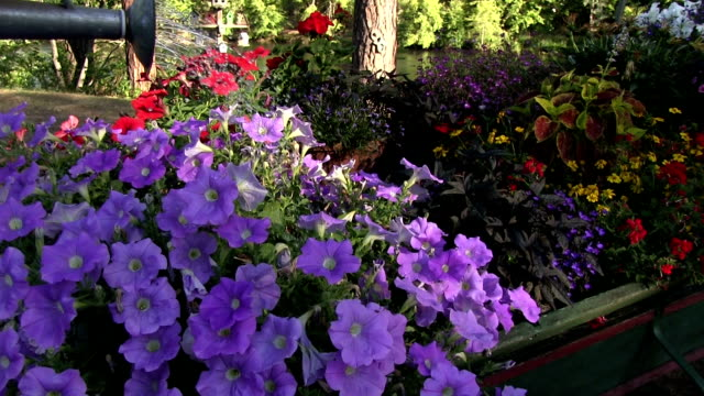 Watering purple flowers in an old wagon video