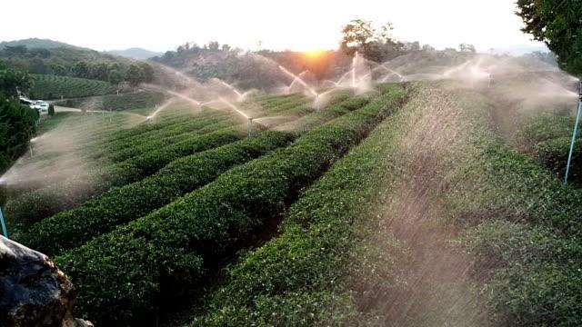 Watering Tea Plantations video