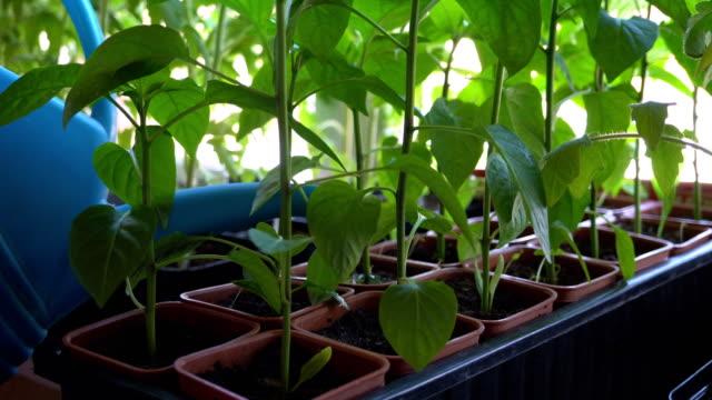 vídeos y material grabado en eventos de stock de regar las plantas de la pimienta de la regadera. - tiesto