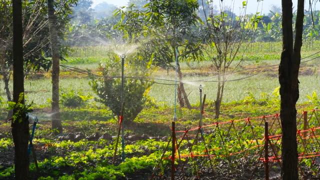 Watering to vegetable in the garden Watering to vegetable in the garden basil stock videos & royalty-free footage