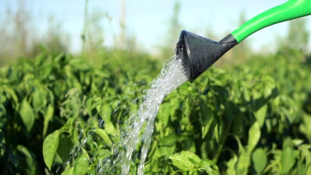 Watering vegetable garden with water from a watering can. Slow motion footage.