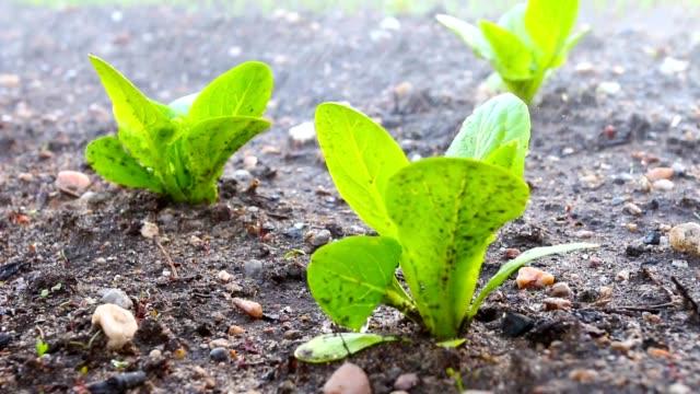 vattning unga plantor av sallat på mark. - pea sprouts bildbanksvideor och videomaterial från bakom kulisserna