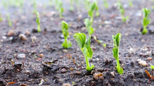 vattning unga plantor av ärter på mark. - pea sprouts bildbanksvideor och videomaterial från bakom kulisserna