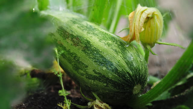 watering zucchini - zucchini video stock e b–roll