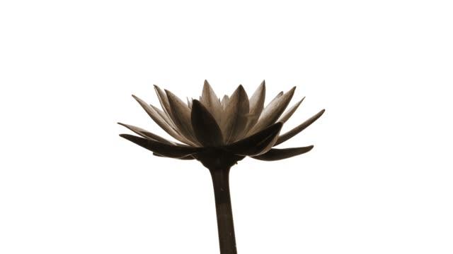 vídeos de stock, filmes e b-roll de waterlily - lotus