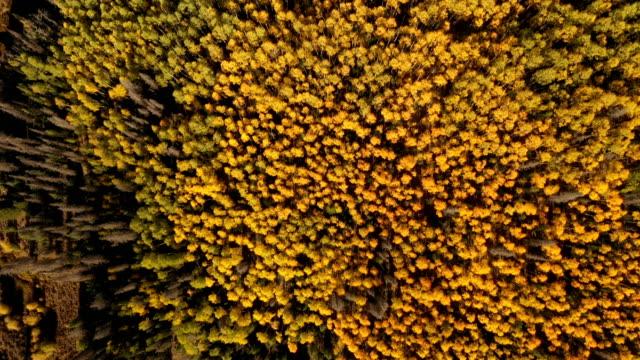 vídeos de stock, filmes e b-roll de ondas de cores amarelas da queda em aspens em colorado - condado de pitkin