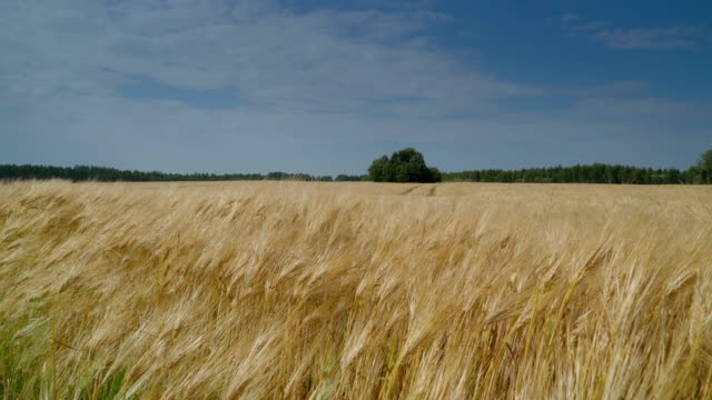 Waving barley grains on the farmland on a sunny day Waving barley grains on the farmland on a sunny day with the view of the trees on the other side wheat stock videos & royalty-free footage
