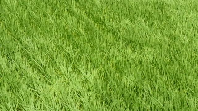 風で田んぼを振る - 水田点の映像素材/bロール