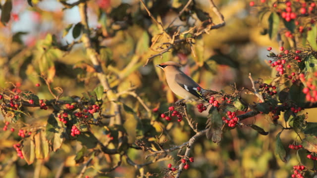 Waxwings (Bombycilla garrulus) collecting berries from a tree video