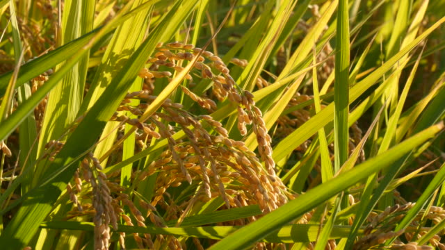 waying rice field in a beautiful day waying rice field in a beautiful day rice paddy stock videos & royalty-free footage