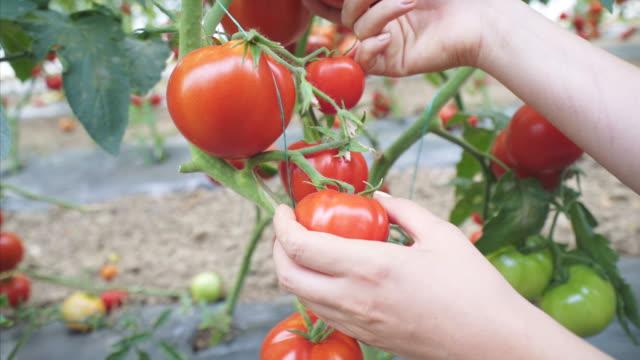 vídeos de stock e filmes b-roll de we have a good production of tomatoes this year. - colher atividade agrícola