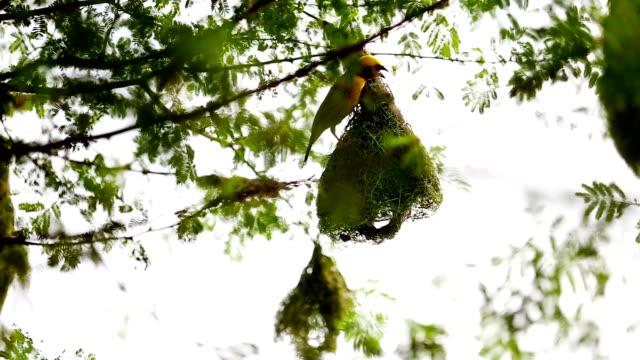 Weaver Bird on the nest video