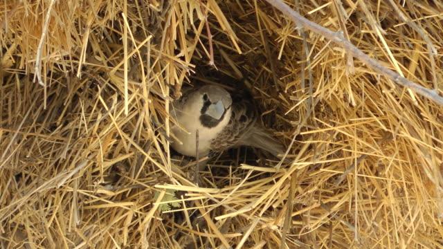 weaver bird video
