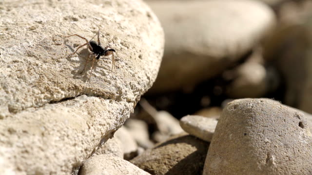 Wedding dance of spider male in spring on river stones video