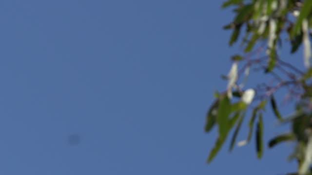 wedge tailed eagle focus pull australia hd - eucalyptus leaves bildbanksvideor och videomaterial från bakom kulisserna