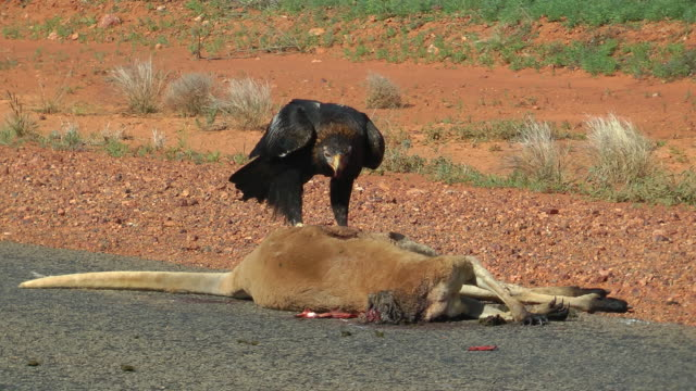 Wedge tailed eagle Wedge tailed eagle feeding on a dead kangaroo in outback Queensland, Australia. bird of prey stock videos & royalty-free footage