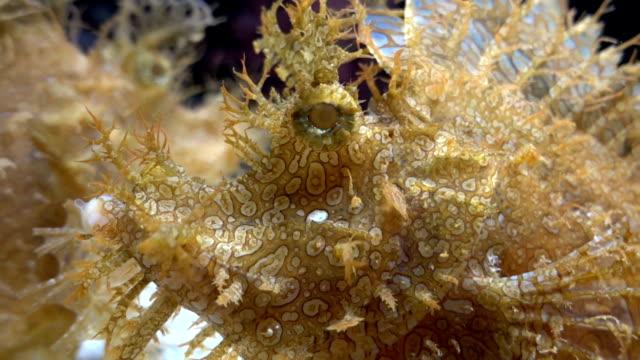 weedy scorpionfish animal life in the underwater - kamuflaż filmów i materiałów b-roll
