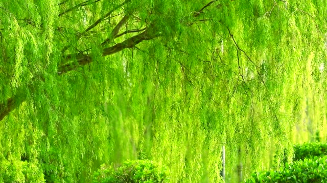 weeping willow tree and light green leaves wall swing by wind is the wall of nature