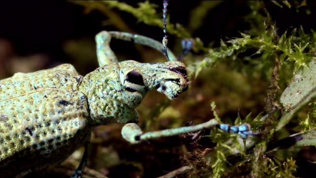 rüsselkäfer mit ungewöhnlichen schnauze - schnauze stock-videos und b-roll-filmmaterial