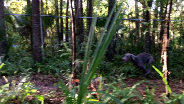 Weimaraner, correndo pelo quintal - vídeo