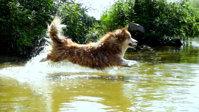welsh corgi fluffy dog plays with its toy at the river - staw woda stojąca filmów i materiałów b-roll