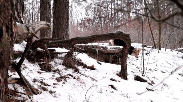 Welsh Corgi on a walk in the winter forest. video