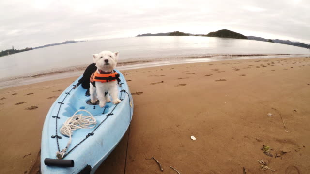 West highland white terrier westie dog standing on kayak in Paihia, Bay of Islands, New Zealand, NZ video